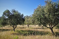 keltisches baumhoroskop olivenbaum