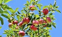 apfelbaum keltischen baumhoroskop