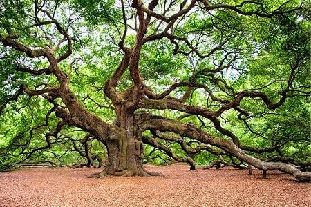 Holzarten Massivholzmöbel Eiche