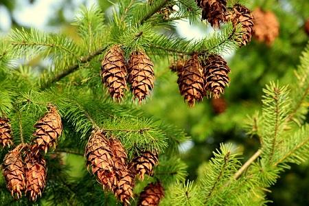 Holzarten Massivholzmöbel Fichte